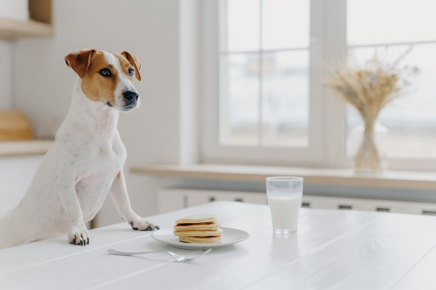 Indoor shot of pedigree dog poses at white desk, wants to eat pancake and drink glass of milk, poses over kitchen interior. animals, domestic atmosphere