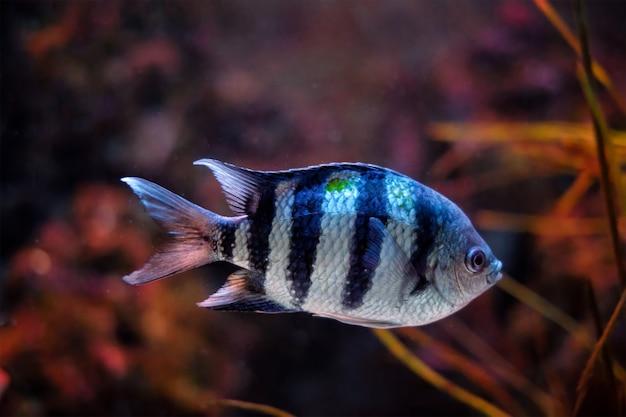 インドパシフィック軍曹アブデフドゥフヴァイジエンシス魚