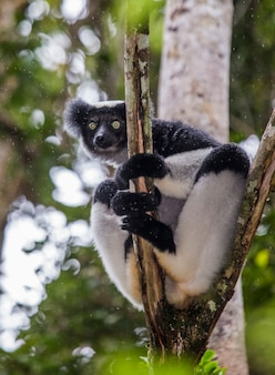 インドリは雨の中で木の上に座っています。マダガスカル。マンタディア国立公園。