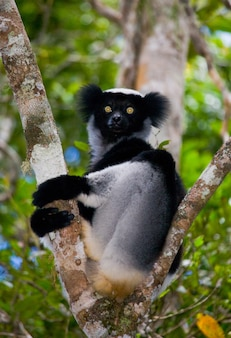 インドリは木の上に座っています。マダガスカル。マンタディア国立公園。