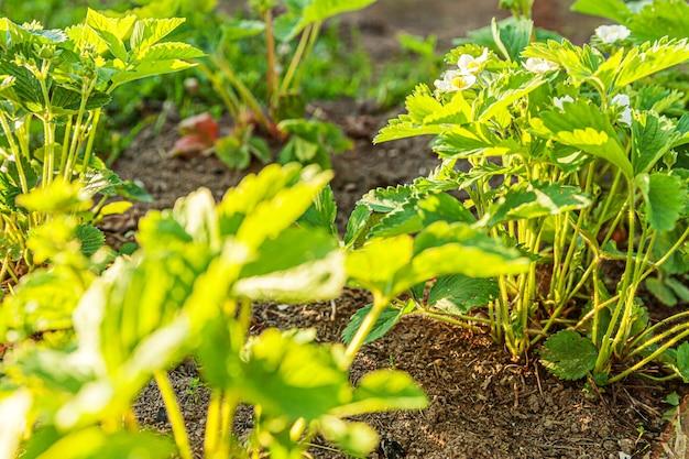 春または夏の庭のベッドで花を咲かせるイチゴの茂みの工業栽培農場でのベリーの栽培