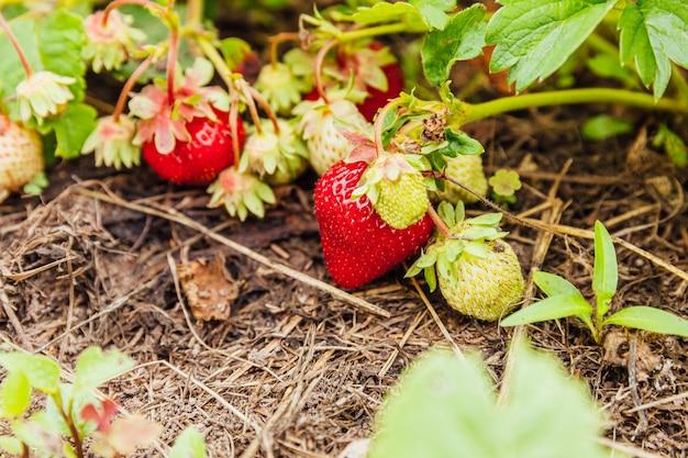イチゴ植物の工業栽培。夏の庭のベッドで熟した赤い果実のイチゴと茂み。農場でのベリーの自然な成長。エコ健康有機食品園芸コンセプトの背景。