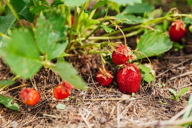 イチゴの工業栽培夏の庭のベッドで熟した赤い果実のイチゴとブッシュを植える農場でのベリーの自然な成長