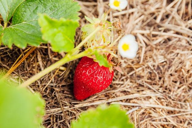 夏の庭のベッドでの熟した赤い果実イチゴとイチゴ植物の茂みの工業栽培農場でのベリーの自然な成長