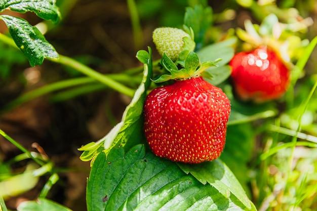 イチゴの工業栽培。夏の庭のベッドで熟した赤い果実のイチゴと茂み。