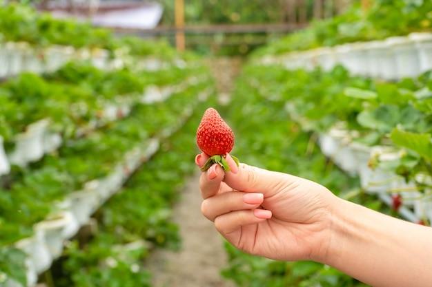 イチゴを栽培するための工業農場。温室のベッドの背景に手に熟した赤い果実。