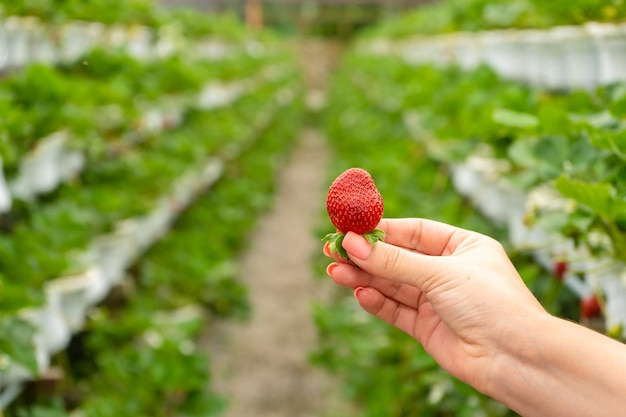 Industrial farm for growing strawberries. ripe red fruit in hand against the background of the beds in the greenhouse.