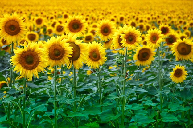 Infinite field with bright yellow blooming sunflowers, soft focus