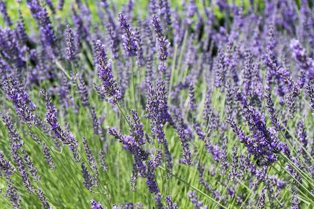 紫と紫の花が咲く無限のラベンダー畑。閉じる