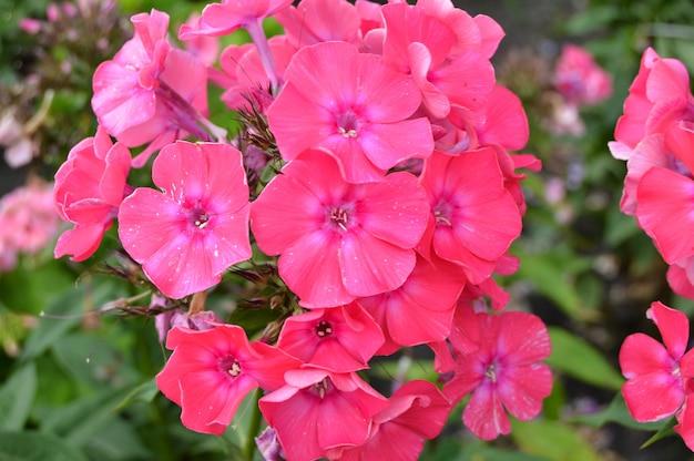 Inflorescence pink phlox, beautiful floral background summer garden.