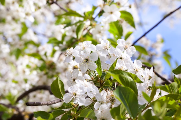Inflorescence of white cherry blossoms in spring