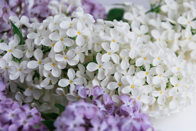 Inflorescences of white and violet lilacs on white