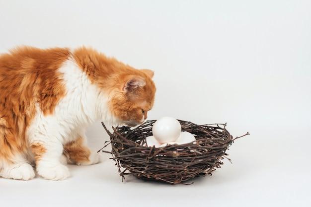 ふわふわ生ingerの子猫は、枝の巣に横たわっている白い鶏の卵を嗅ぎます。