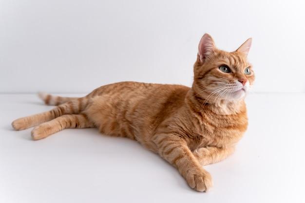 白いテーブルの上に横たわると思慮深く見て生inger猫