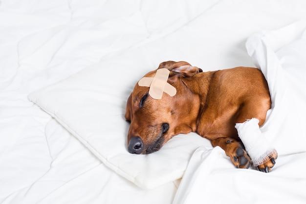 Injured dog resting after treatment