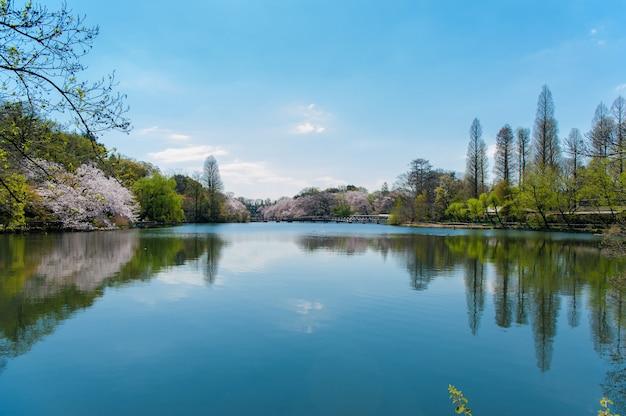 Парк инокасира это известное место для наблюдения за цветением сакуры в токио, япония.