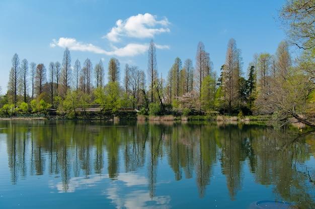 Парк инокасира это известное место для наблюдения за цветением сакуры в токио, япония. Premium Фотографии