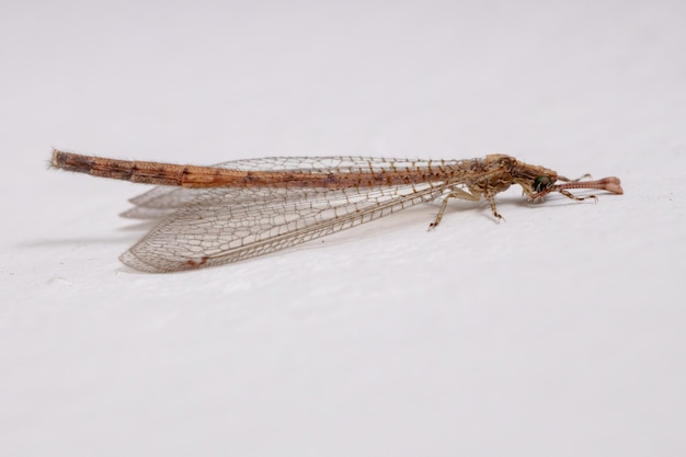 Myrmeleontidae科の昆虫ウスバカゲロウ