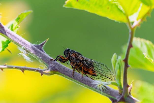 Insect cicadidae family of cicadas on tree branch