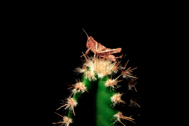 Insect cricket on the spines of the cactus, challenge and overcome problems of life