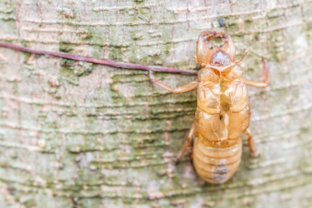 Insect molting, cicada molt on tree bark, with nature blurred background.