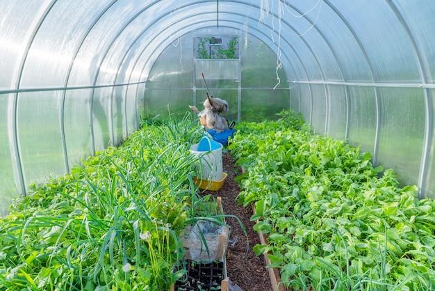 도시 그린 하우스 내부. 유기농 채소 재배. 도시 농업
