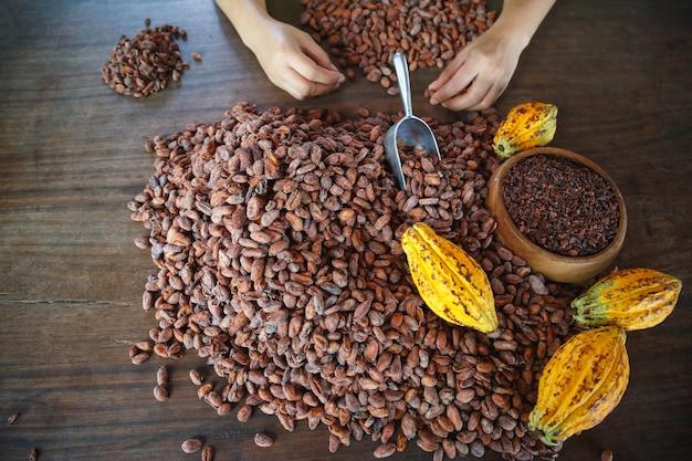 수작업으로 코코아 콩의 품질 검사