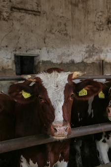 Intensive calf farming, calf detail in a farm bred for meat production