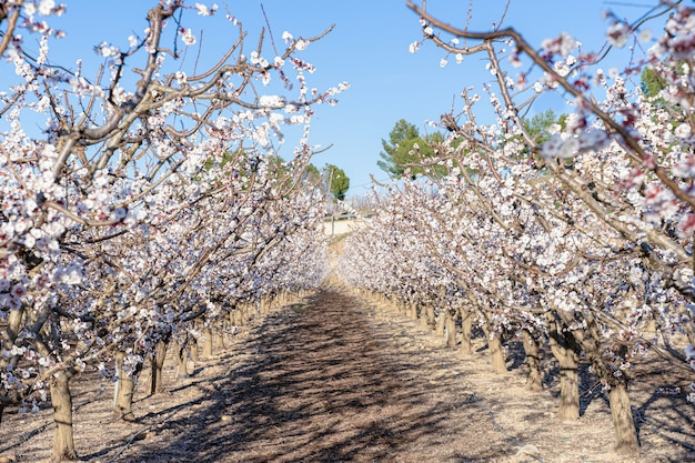 アプリコットの集約栽培、満開の木