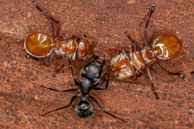 Interaction between tortoise ants of the genus cephalotes and carpenter ant of the genus camponotus with selective focus on tortoise ant