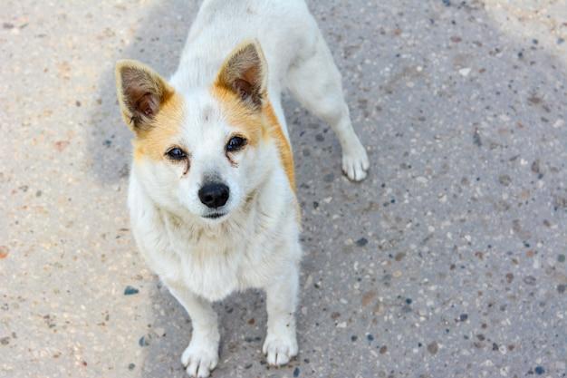 道路に立っているホームレスの犬の興味をそそる表情。