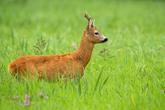 Заинтересованная косуля смотрит в сторону на зеленом лугу летом