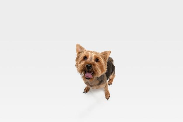 興味がある。ヨークシャーテリア犬がポーズを取っています。白いスタジオの背景で遊ぶかわいい遊び心のある茶色の黒い犬やペット。動き、行動、動き、ペットの愛の概念。幸せ、喜び、おかしいように見えます。