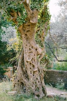 올리브 나무의 곱슬거리는 나무 껍질에 흥미로운 패턴