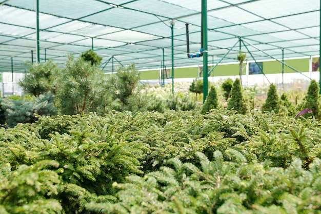 Interior of large contemporary greenhouse with long rows of growing seedlings of evergreen trees such as pines, thujas and others