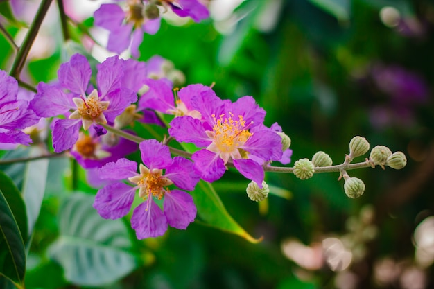 Inthanin, queen's flower, large tree with beautiful purple flowers.