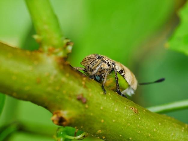 Invert planthopper
