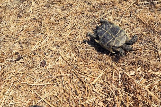 Перевернутая наземная черепаха на сухой траве