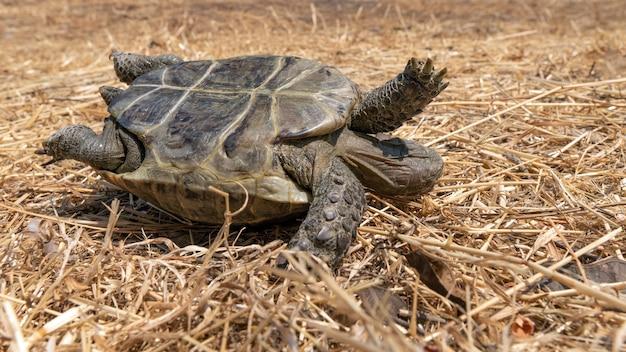 Перевернутая степная черепаха на сухой траве