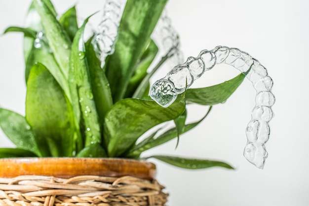 보이지 않는 교정기는 흰색 배경에 있는 가정 식물의 녹색 잎에 무게를 둡니다.