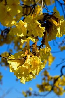 Крупный план желтых цветков лапачо или ipe
