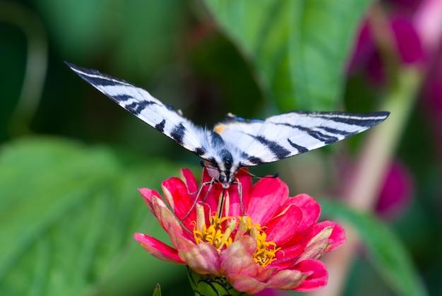 美しい庭の花を食べて大きな熱帯蝶iphiclidesポダレイリオス