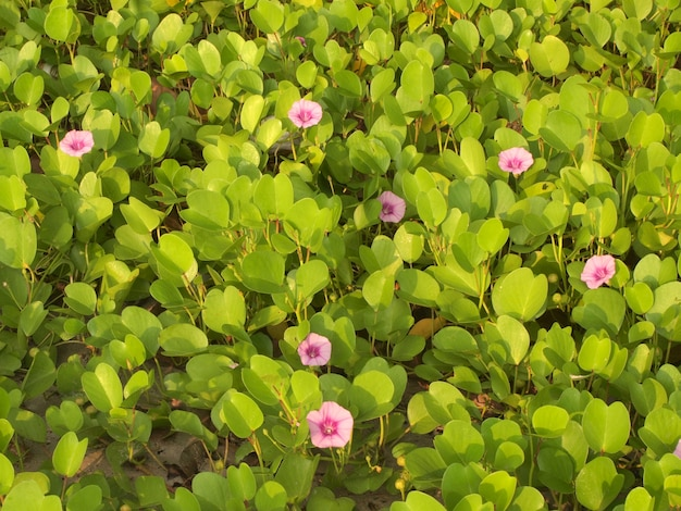 Ipomoea pes-caprae are blooming on the beach
