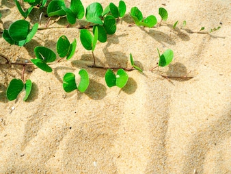 Ipomoea pes-caprae on sand beautiful beach in morning and copy space background.