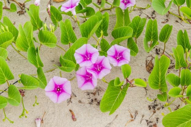 Ipomoea pes-capraeスウィートビーチまたはビーチモーニンググローリー