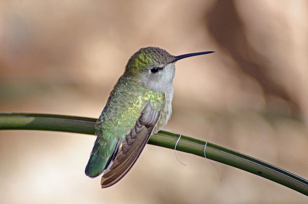 Iridescent female hummingbird perched on a branch