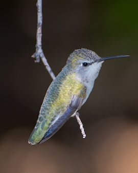 Iridescent female hummingbird perched on a hanging twig