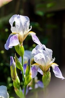Цветок ириса на фоне зеленого сада