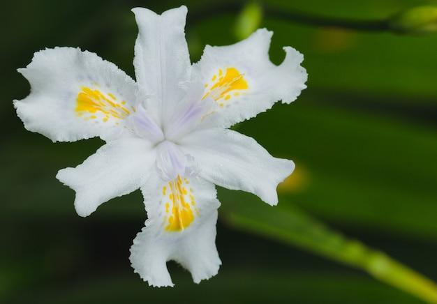 Цветок ириса японского. макрос вид сверху.