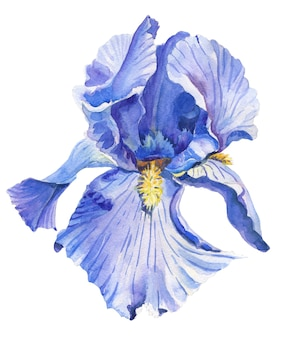 Iris.watercolor flower on white background.